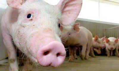 maladie-porc-japon