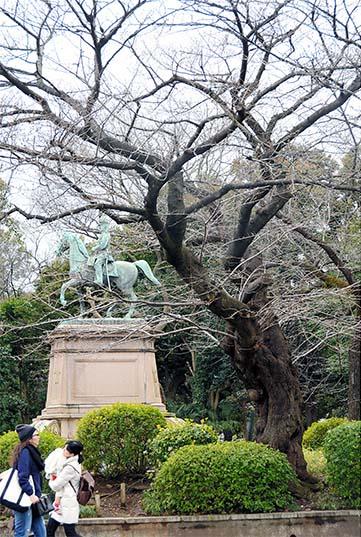 Légende : Un cerisier Yoshino près de la statue du Prince Komatsu Akihito dans le parc Ueno à Tokyo est peut-être le premier de cette espèce que l'on peut voir dans tout le Japon. (Teruhiko Nose)