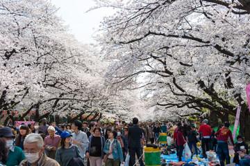 cerisiers-tokyo-ueno-origines