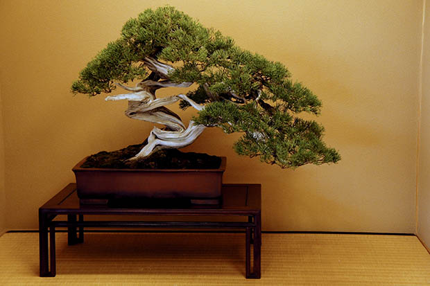 bonsai-japon