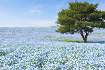 hitachi-seaside-fleurs-japon-paysage