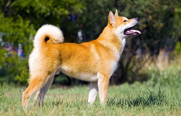 chiens-akita-Japon