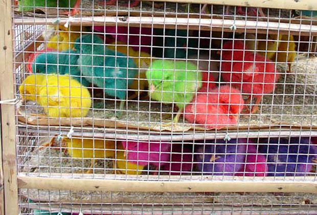 canaris-couleur