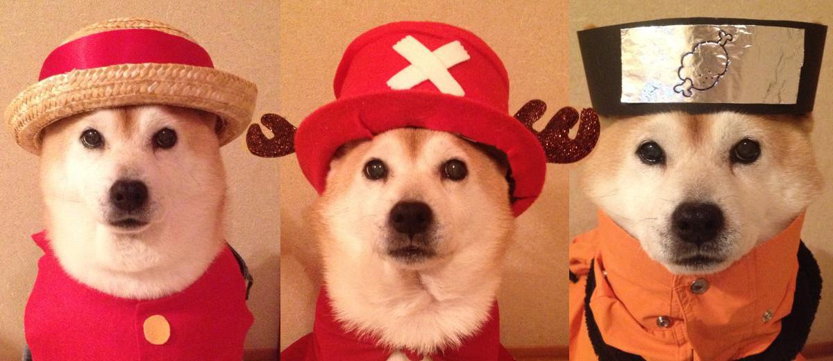 shiba-ini-cosplay-chiens-japonais