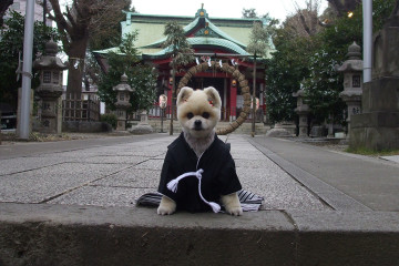 ceremonie-shichi-go-san-chiens-animau-japon