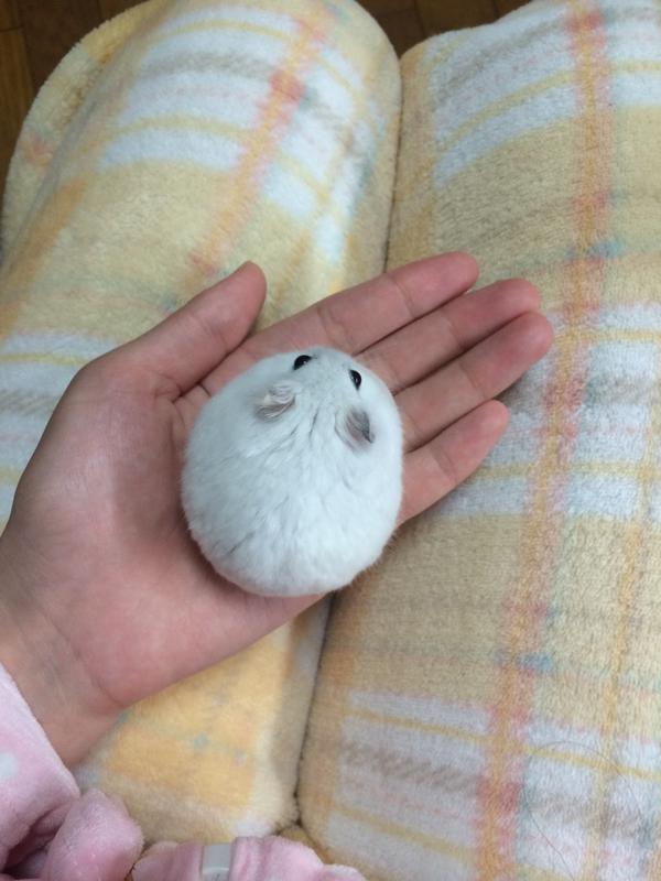 Certains hamsters créent des formes intéressantes avec leurs corps. Saviez-vous qu'ils pouvaient être de parfaites boules de poils ?