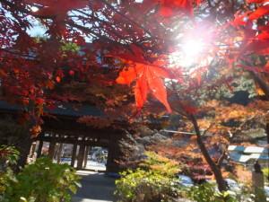 les feuilles rouges d'un érable japonais