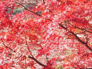 les feuilles rouges d'un érable japonais 2