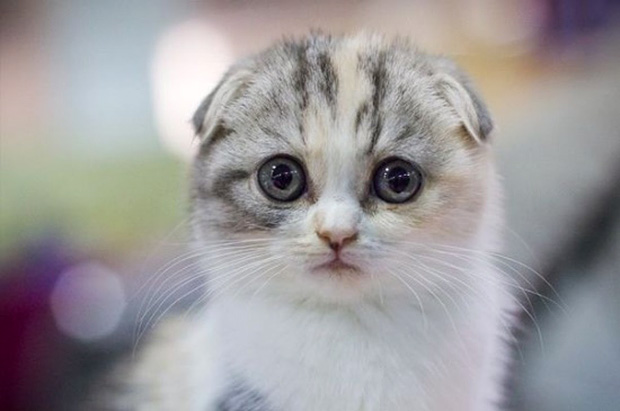 chat-prefere-japonais-scottish-fold