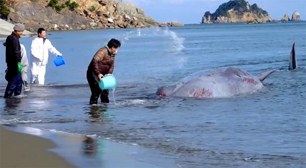 sauvetage-baleine-japon-anan