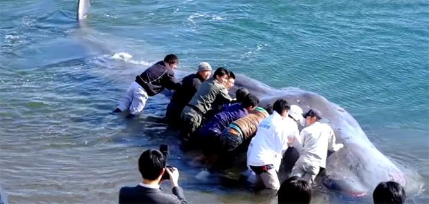sauvetage-baleine-japon-cachalot