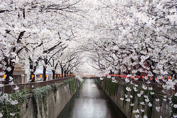cerisiers-fleurs-sakura-hanami-Japon (21)