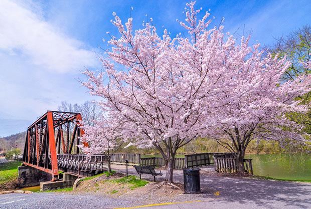 cerisiers-fleurs-sakura-hanami-Japon (22)