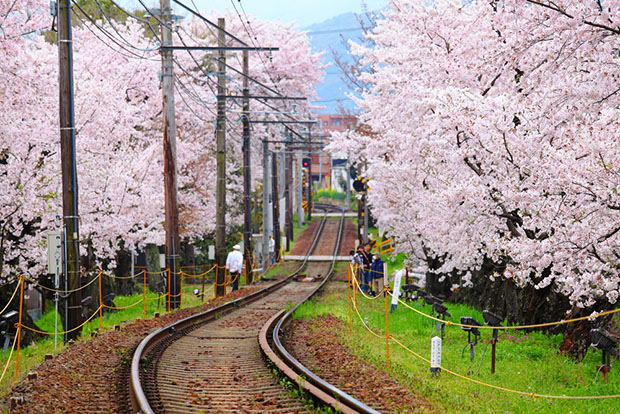cerisiers-fleurs-sakura-hanami-Japon (6)