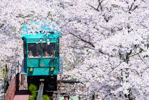 cerisiers-fleurs-sakura-hanami-Japon (9)