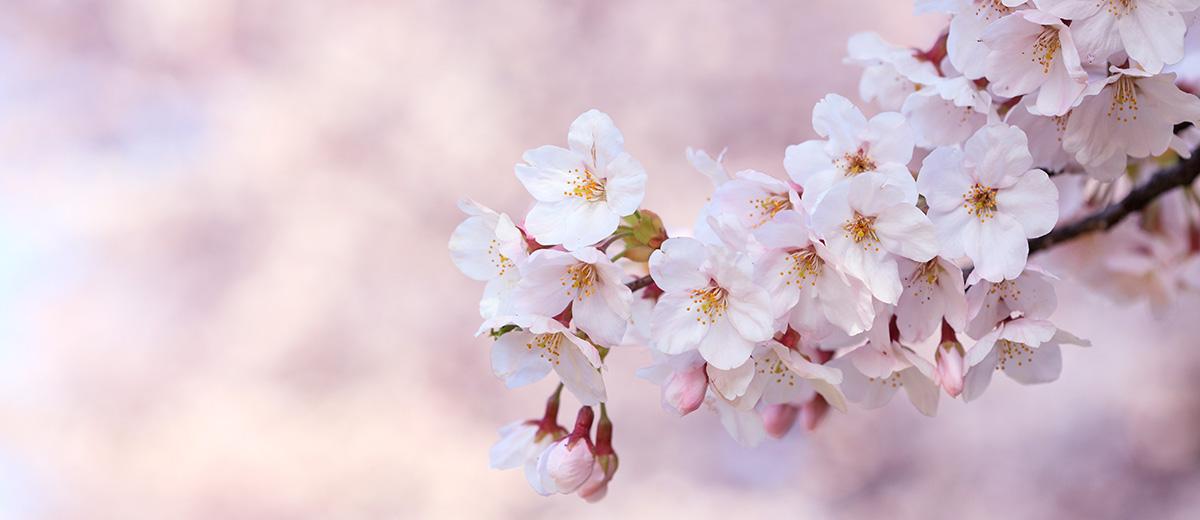 sakura-cerisiers-tokyo-printemps-floraison