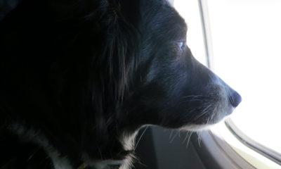 avion-chiens-passagers-Japon-ANA-tokto-hokkaido
