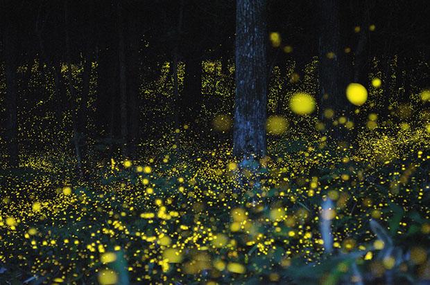 festival-lucioles-hotaru-Japon-4