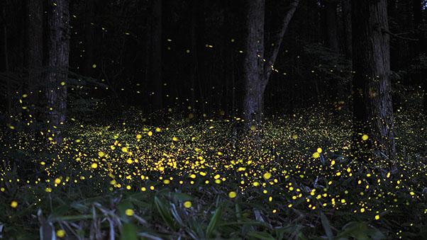 festival-lucioles-hotaru-Japon-5