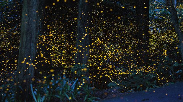 festival-lucioles-hotaru-Japon