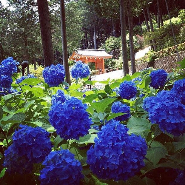 fleurs-hortensia-coeur-japon-temple-japonais-kyoto (2)