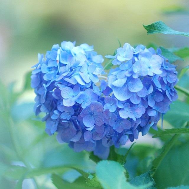 fleurs-hortensia-coeur-japon-temple-japonais-kyoto (4)