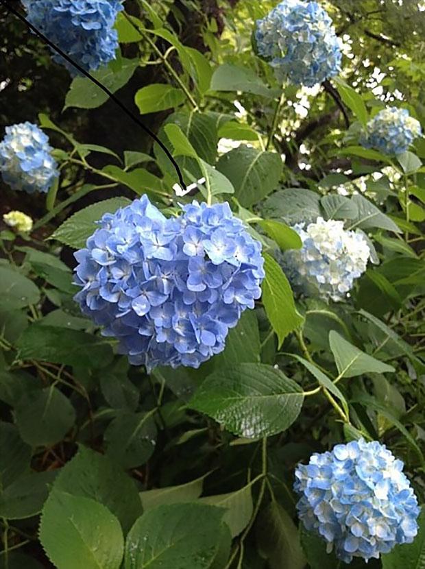 fleurs-hortensia-coeur-japon-temple-japonais-kyoto (5)