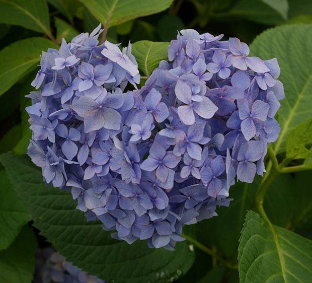 fleurs-hortensia-coeur-japon-temple-japonais-kyoto (6)