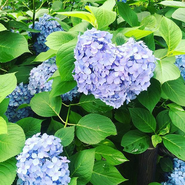 fleurs-hortensia-coeur-japon-temple-japonais-kyoto (7)