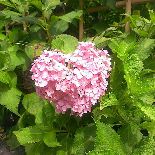 fleurs-hortensia-coeur-japon-temple-japonais-kyoto (8)