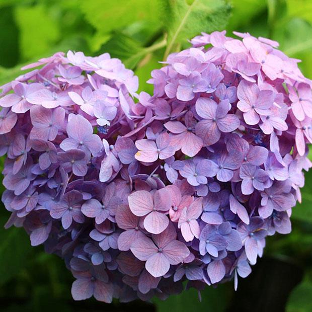 fleurs-hortensia-coeur-japon-temple-japonais-kyoto (9)