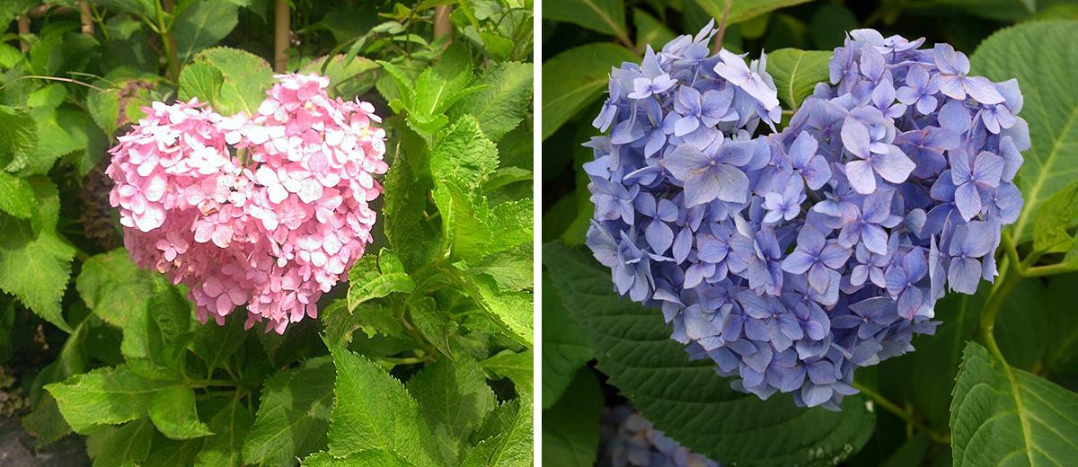 hortensia-japon-coeur-amour-kyoto-fleurs-temple