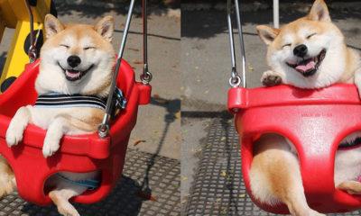 shiba-inu-balancoire-japon-heureux-sourire