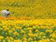 serakogenfarm-japon-tournosols-fleurs