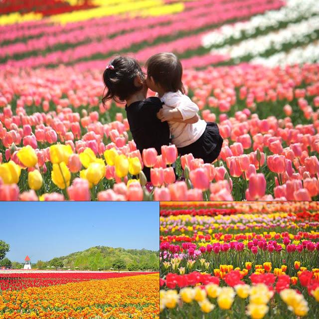 tulipeserakogenfarm-japon
